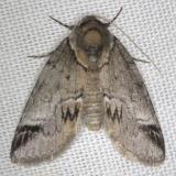 8971 Sleeping Baileya Moth yard 5-9-13
