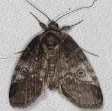 8972 Pale Baileya Moth yard 5-10-15