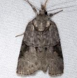 8975 Frigid Owlet Moth Thunder Lake UP Mich 6-21-14