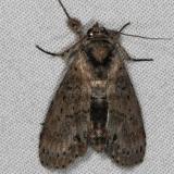 8981 Motya abseuzalis Oscar Scherer St Pk Fl 3-14-15