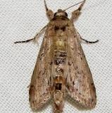 8981 Motya abseuzalis Rowdy Bend Trail Everglades 3-3-12