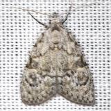 8983 Confused Meganola 8983 Confused Meganola Moth Carter Cave St Pk Ky 4-23-13