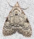 8983.1 Coastal Plain Meganola Moth Lake Kissimmee St Pk Fl 2-26-13