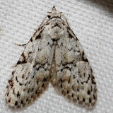 8983.1 Coastal Plain Meganola Moth Ochlockonee River St Pk Fl 3-26-13