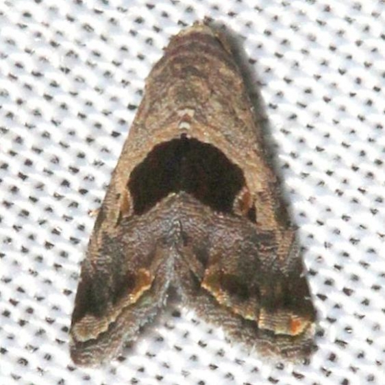 9003.1 Tripudia rectangula Mahogany Hammock Everglades Natl Pk 3-10-13