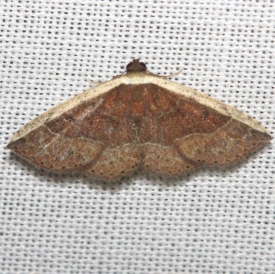 9025 White Edge Moth Obed River shed Tenn 8-26-12