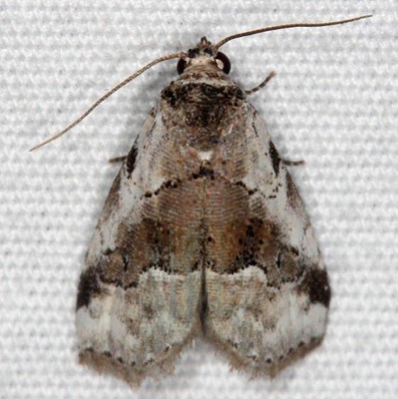9036 Hyperstrotia aetheria Oscar Scherer St Pk 3-13-15