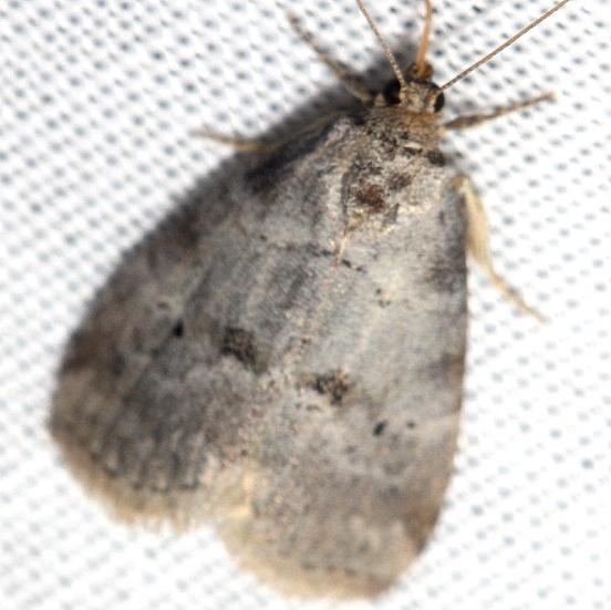 9037 Dotted Graylet Moth Thunder Lake UP Mich 6-23-12
