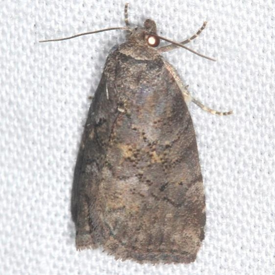 9039 Yellow-spotted Graylet Moth Mothapalooza Shawnee St Forest Oh 7-7-17 (5)_opt