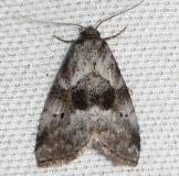 9040 Black-patched Graylet Moth Leslie Angel's house Tenn 8-24-12