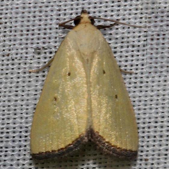 9044 Black-bordered Lemon Moth yard 6-15-12