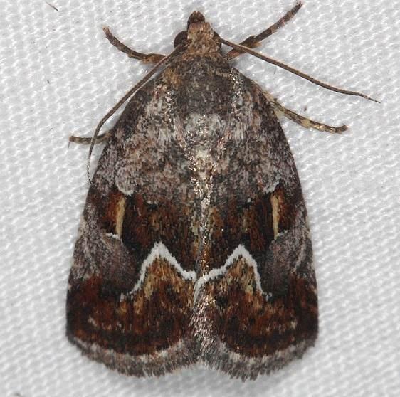 9046 Bog Deltote Moth Thunder Lake UP Mich 6-23-14