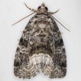 9047 Large Mossy Glyph Moth yard 5-27-13