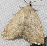 9048 Pale Glyph Moth Thunder Lake Mich 6-23-12