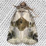 9049 Black-dotted Glyph Moth yard 5-19-13