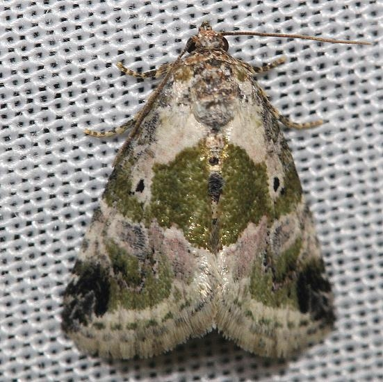 9049 Black-dotted Maliattha Moth yard 5-5-12
