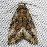 9051 Small Mossy Lithacodia Moth Shawnee St Pk Oh 6-15-13