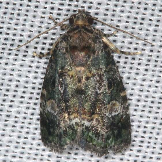9051 Small Mossy Lithacodia Moth yard 8-2-16 (2)_opt