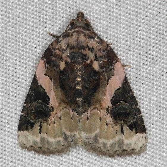 9053 Pink-barred Pseudeustrotia Moth yard 6-16-14