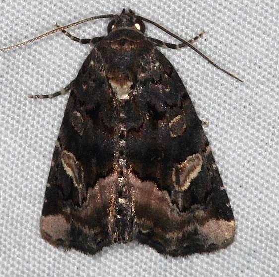 9057 Black Wedge-spot Moth Burr Oak St Pk at cabins Oh 6-27-14