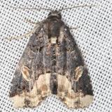 9057 Black Wedge-spot Moth yard 6-5-13
