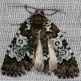 9061 Owl-eyed Bird-dropping Moth Thunder Lake Mich 6-21-13
