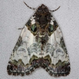 9062 Tufted Bird-dropping Moth yard 6-6-14
