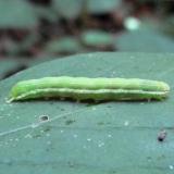 9065 Green Leuconycta Caterpillar 8-18-10