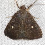 9070 Eight-spot Moth NABA Gardens Texas 11-3-13