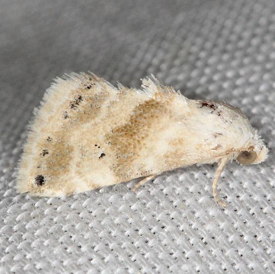9076 Everlasting Bud Moth yard 5-16-13