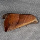 9077 Eublemma cinnamomea Collier Seminole St Pk 2-25-14