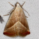 9078 Straight-lined Seed Moth Campsite 119 Falcon St Pk 10-22-16_opt