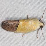 9085 Half-yellow Moth Campsite 119 Falcon St Pk Texas 10-27-16_opt