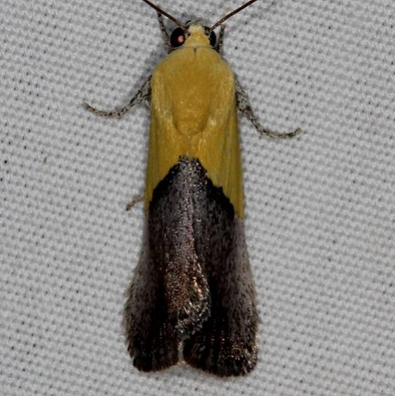 9085 Half-yellow Moth Mesa Verde Natl Pk Colorado 6-10-17 (13)_opt