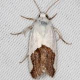 9093 Ponometia heonyx Campsite 119 Falcon St Pk 10-22-16_opt