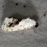 9095 Small Bird-dropping Moth yard 5-24-12