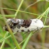 9098 Ponometia phecolisca Parker Canyon Lake 9-8-12