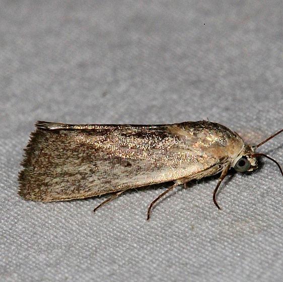 9102 Ponometia fasciatella BG Mesa Verde Colorado 6-11-17 (3)_opt