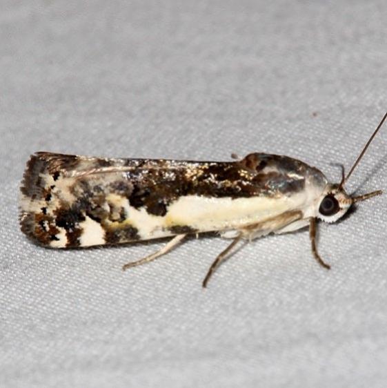 9111 Narrow-winged Midget Moth Colorado Natl Monument 6-17-17 (303)_opt
