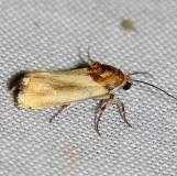 9131 Yellow Spragueia Moth male yard 6-11-12