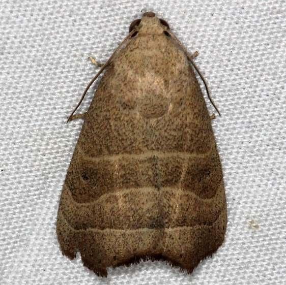 9168 Wavy Lined Mallow Moth Collier-Seminole St Pk 3-6-15