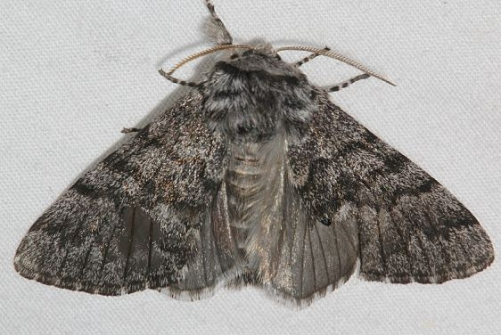 9181 Panthea gigantea Mueller St Pk Colorado 6-20-17 (22)_opt
