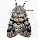 9182 Eastern Panthea Moth Thunder Lake Mich 6-21-13