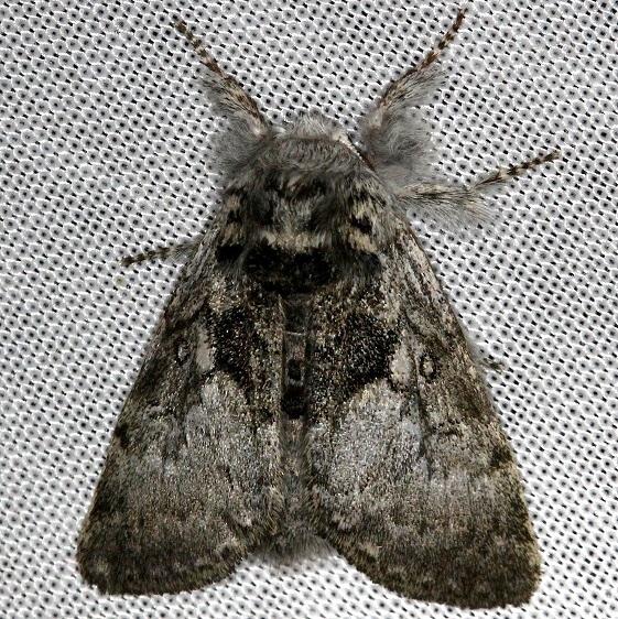 9185 Closebanded Yellowhorn Moth Carter Cave St Pk Ky 4-23-13
