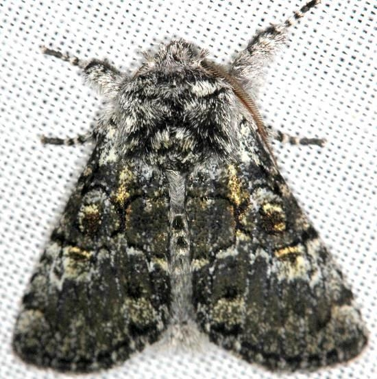 9189 Laugher Moth Carter Cave St Pk Ky 4-23-13