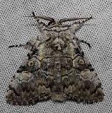 9189 Laugher Moth Kissimmee Prairie St Pk 3-16-13