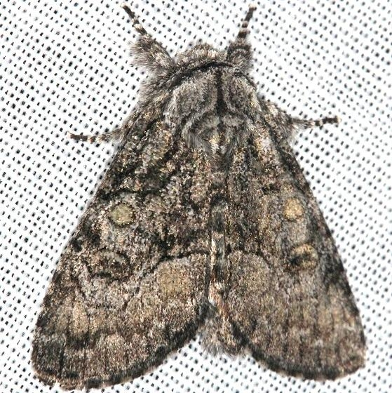 9193 The Brother Moth Thunder Lake Mich UP 6-22-13