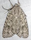 9199 Ruddy Dagger Moth Carter Cave St Pk Ky 4-23-13