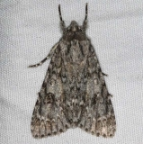 9199 Ruddy Dagger Moth yard 7-14-15