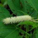 9200 American Dagger Moth Estelle Wrenrick Fen Clark Co Oh 7-14-14